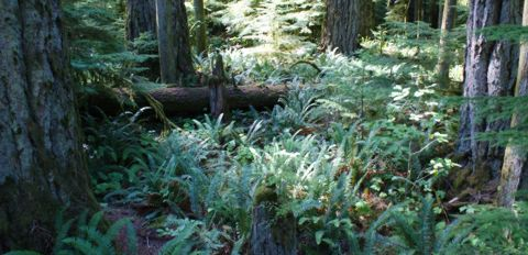 Cathedral Grove ferns