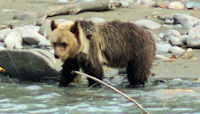 Young grizzly in Bella Coola
