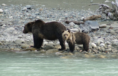 Bear and cub on Bella Coola River
