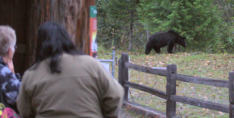 Bear viewing at Belarko Wildlive Viewing Area