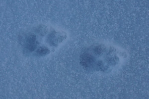 Wolf or Coyoty Tracks in the snow
